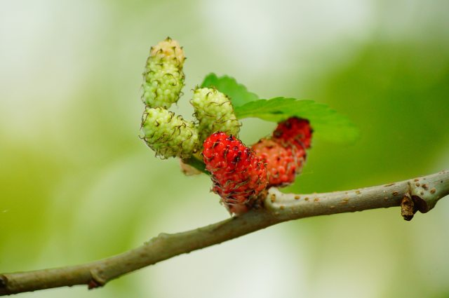 berry-branch-close-up-64282